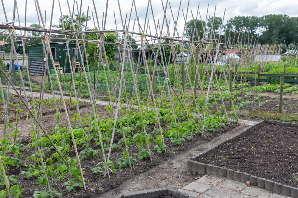 Allotment Garden In Spring With Runner Bean Canes